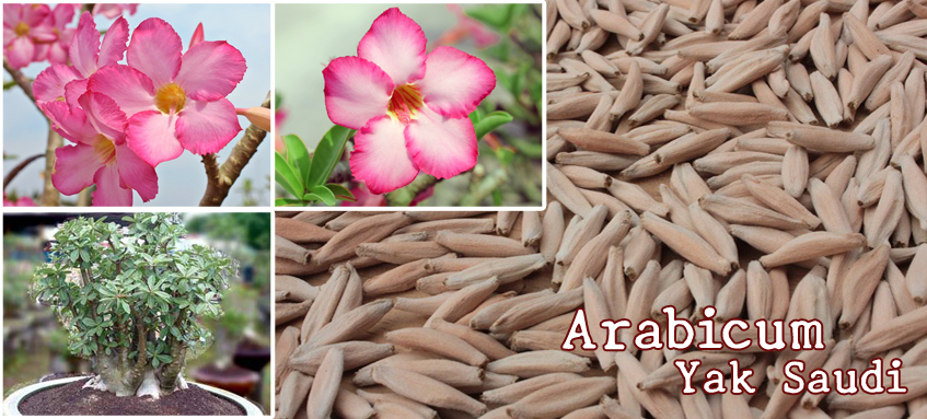 Arabicum Seeds- Yak Saudi: Lop-Bu-Ri (LBR), Sing-Bu-Ri (SBR),Pet-Na-Wang (PNW), Yemen (YM), Black Giant-Sing-Bu-Ri (BG-SBR), Black Giant - Korat Series (BG-KR), Ka-Set (KS) breeds and others