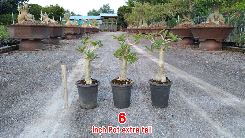 Desert Rose Thai Socotranum KHZ seedling 6 inch pot.